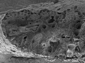 Halimeda mit Kalknadeln im Inneren | Foto: A. Wizemann, ZMT
