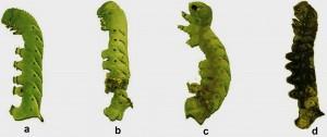 Häutungsschäden bei Raupen, deren Glycosidase-Gen ausgeschaltet wurde (b, c, d), im Vergleich zu einer Kontrollraupe (a). Alle Raupen hatten Lyciumosid IV mit der Nahrung aufgenommen. | Foto: Sagar Pandit, MPI chem. Ökol.