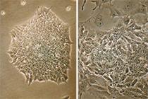 Embryonale Stammzellen, die mit dem Hemmstoff PFI-3 behandelt wurden, entwickeln sich unkontrolliert und verlieren ihre Form. Rechts: unbehandelte Stammzellen. | Foto: T. Günther / Universitätsklinikum Freiburg