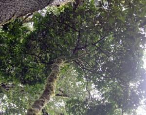 """In indonesischen Bergregenwäldern wachsen """"Aluminiumbäume"""", mit deren Rinde und Blättern traditionelle Weberinnen Textilien beizen.   Foto: Privat"""
